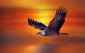Picture sunset, flight, eagle