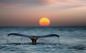 Picture sea, water, tail, the ocean, the sun, kit, sunset
