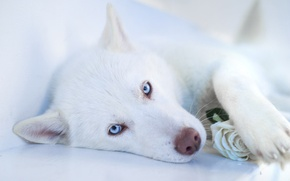 Picture face, dog, white, husky