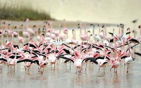 Picture birds, nature, Flamingo