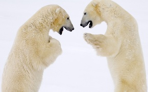 Picture winter, bear, bears, polar bear, North