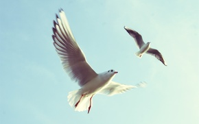 Picture the sky, flight, bird, seagulls, wings, Seagull, in the sky