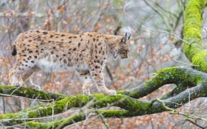 Picture cat, tree, moss, branch, lynx, ©Tambako The Jaguar