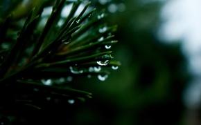 Picture macro, needles, drops, drops, macro, rain, cedar
