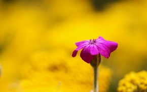 Picture flowers, yellow, background, pink, widescreen, Wallpaper, blur, wallpaper, widescreen, background, full screen, HD wallpapers, flower, ...