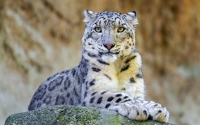 Picture face, stay, stone, predator, IRBIS, snow leopard
