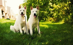 Picture dog, nature, dog, akita, white, puppies, grass, white