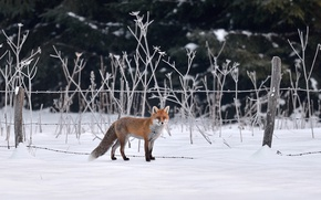 Picture fox, winter, snow, fence, wildlife, hunting