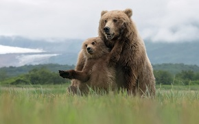 Picture summer, nature, Grizzly Bears
