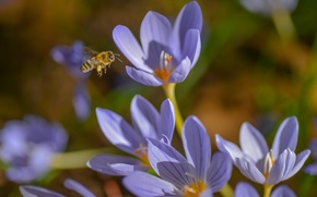 Picture macro, insect, saffron, crocuses, bee, spring