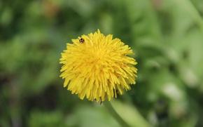 Picture the sun, macro, flowers, yellow, ladybug, Dandelion