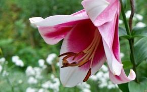 Picture flower, macro, pink, Lily, beautiful, flowerbed, aroma, bokeh