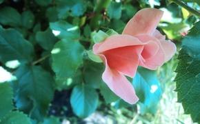 Picture flowers, pink, Rose, unique rose