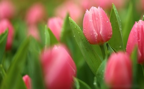 Picture drops, petals, tulips, buds, flowering
