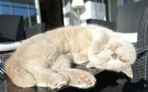 Picture stay, sleep, kitty, on the table, British Shorthair, sleep