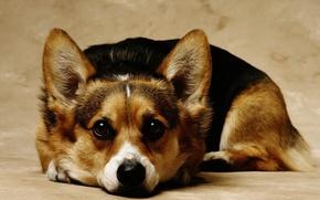 Picture dogs, dog, cute, beautiful, cutie, beautiful, breed, pedigree, Corgi