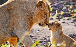 Wallpaper Leo, lion, nose to nose