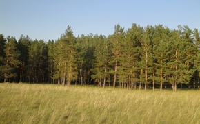 Picture forest, grass, yellow, pine