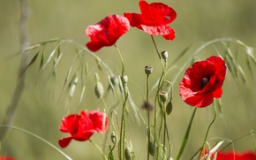 Picture field, Maki, petals, meadow