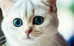 Picture cat, mustache, look, muzzle, eyes