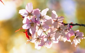 Picture flowers, cherry, branch, spring, flowering