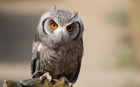 Picture eyes, owl, bird, claws, night