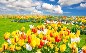 Picture the sky, clouds, flowers, Field, tulips