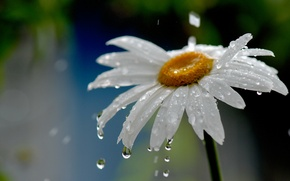 Picture flower, water, drops, nature, rain, Daisy
