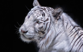 Picture face, the dark background, white tiger, wild cat