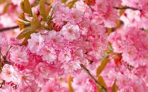 Wallpaper flowers, spring, Sakura, pink