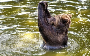 Wallpaper brown bear, European, water, Scotland, Blair Drummond Safari Park, applause