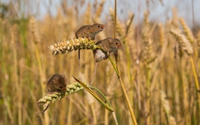 Picture field, ears, mouse, trio, mouse, vole