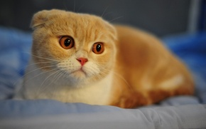 Wallpaper macro, white, face, red, face, breed, Scottish fold, ears, nose, eyes, cat