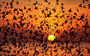 Picture sea, the sun, sunset, birds, pack, silhouette