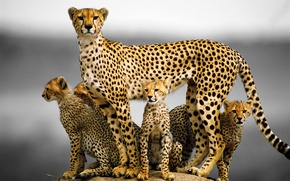 Picture cat, family, kittens, Cheetah