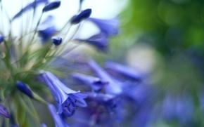 Picture macro, glare, blur, Bells, flowers, buds, blue