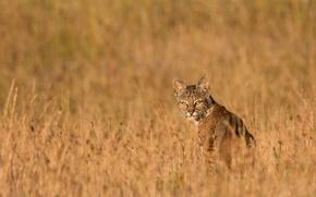 Picture grass, look, predator, lynx, dry