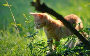 Picture grass, red, kitty