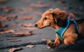 Picture autumn, dog, running, Dachshund