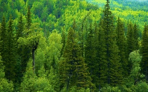 Picture greens, forest, trees, ate, Russia, taiga
