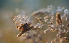 Wallpaper bokeh, macro, butterfly, insect, glare, spikelets