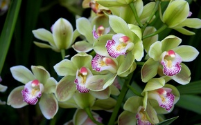Picture green, exotic, Orchid