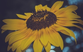 Picture flower, macro, sunflower, seeds