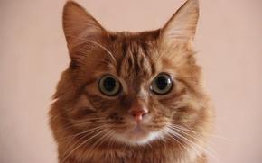 Picture mustache, look, macro, Cats, Kurilian Bobtail