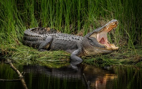 Picture grass, water, mouth, alligator