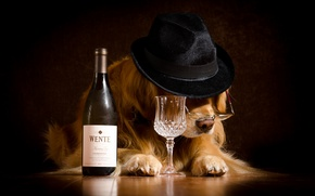 Picture mood, wine, bottle, humor, hat, glasses, glass, Retriever