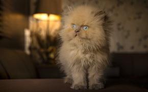 Picture fluffy, red, kitty, blue eyes, ginger kitten