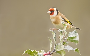 Picture berries, branch, goldfinch, bird, frost, leaves