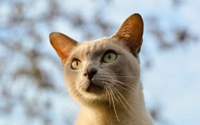 Picture cat, eyes, face, beautiful, bokeh, looking