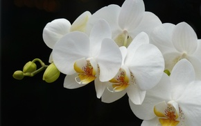 Picture white, branch, Orchid